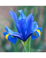 Large, lightly scented flowers in violet-blue with veining and a central yellow stripe, the Iris spuria is slender and stands like royalty.