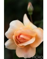 Dainty peach petals draw you into the delightful rose flower as a rose bud drifts out of focus in the background bokeh.