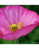 Selective focus on yellow stamens of the open bud draws you in to the softness of the delicate pink petals of the poppy bloom.
