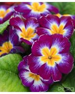 A sweet flowering garden plant, the primrose features beautiful rustic petals in shades of reddish purple, yellow and white with radial symmetry among the green leaves.