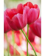 Two pink tulips in bloom as their stems are intertwined in this intimate close-up composition.