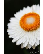 A white paper daisy defined by highlights and shadows with a striking orange center composed vertically offers a simple and minimalist aesthetic.