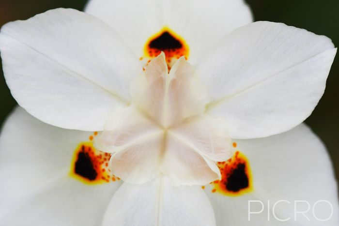 White African Iris - Close-up of a white variant dietes bicolor bloom exhibits white petals that feature three dark spots with an orange outline in a symmetrical composition.