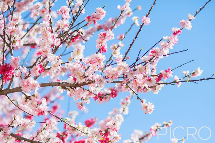 Cherry Blossom - Cherry blosssoms are the stars of springtime as white and pastel pink blooms flourish on the branches of a tree under a blue sky in daylight, captured in a horizontal composition.