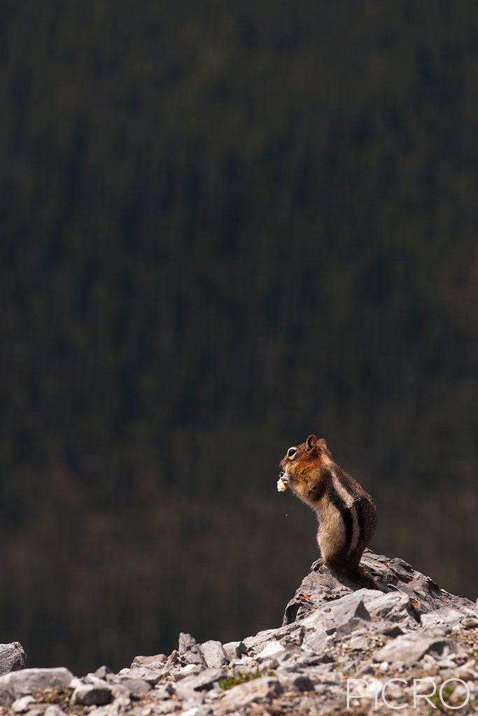 Chipmunk on Rock - Chipmunk on Rock