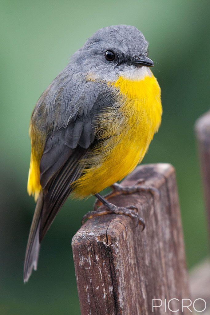 Eastern Yellow Robin - Eastern Yellow Robin