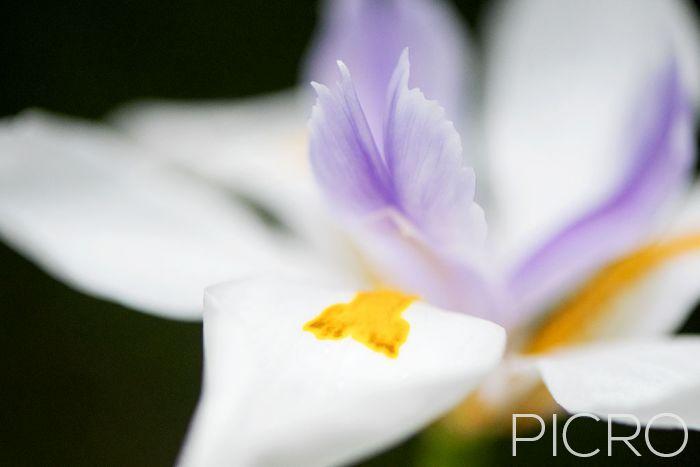 Fairy Iris - Fairy Iris