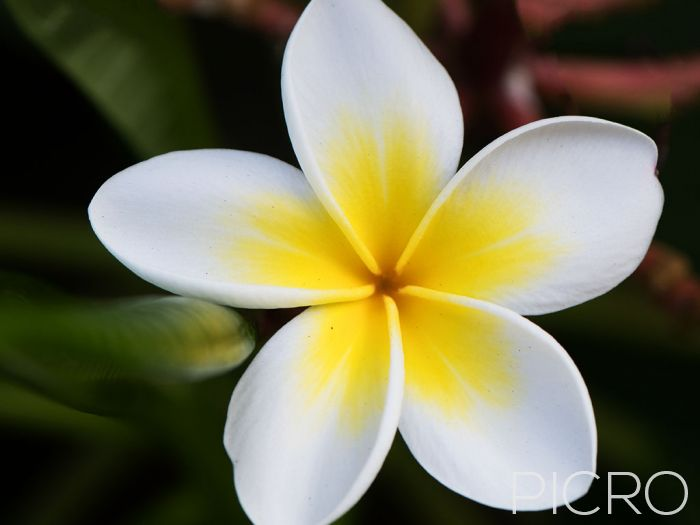 Frangipani - A glorious plumeria bloom from the tropics, this white and yellow flower is not only beautiful, but fragrant too.