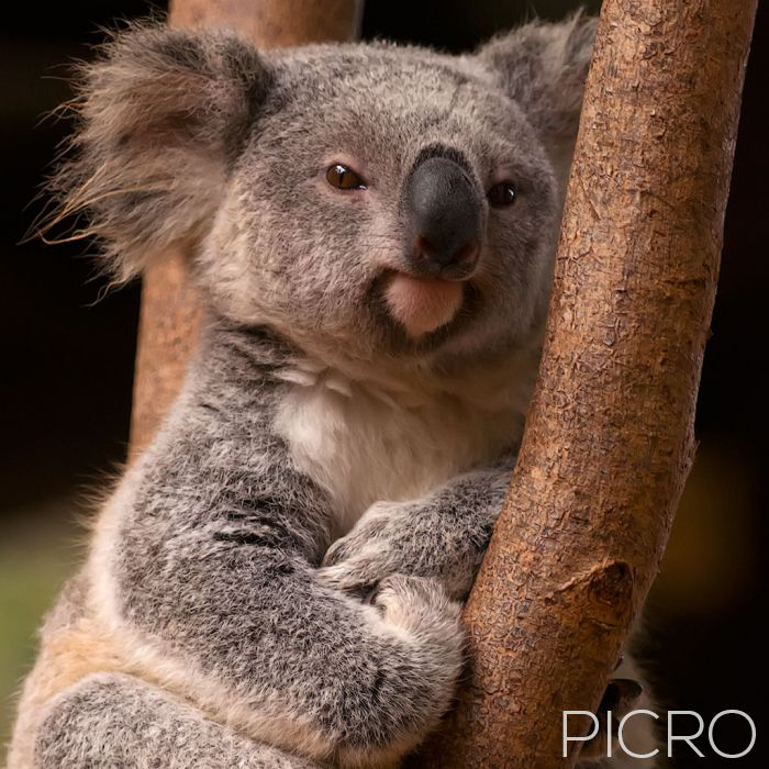 Koala - Koala