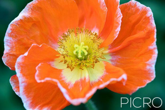 Orange Poppy - Orange Poppy