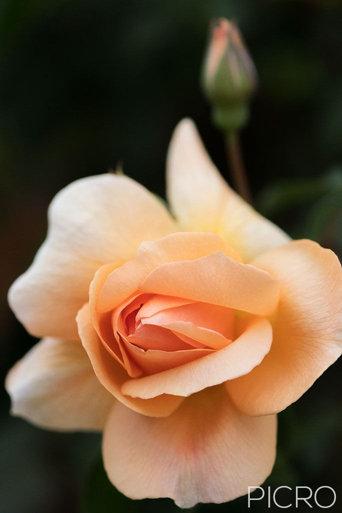 Peach Rose - Dainty peach petals draw you into the delightful rose flower as a rose bud drifts out of focus in the background bokeh.