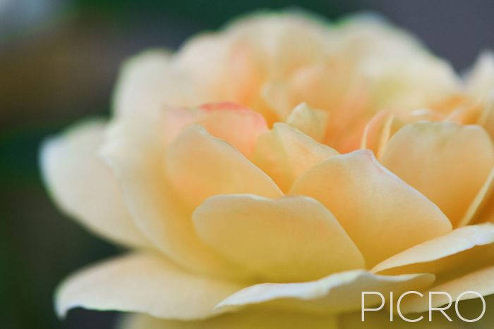 Pretty Peach Rose - Pastel peach petals of passion. The rose is a beautiful sight to behold and this delicate flower seduces with its splendor.