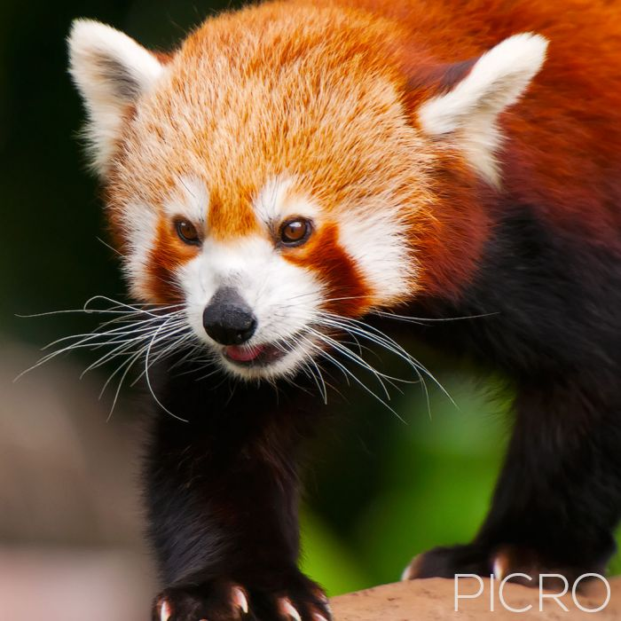 Red Panda - Red Panda