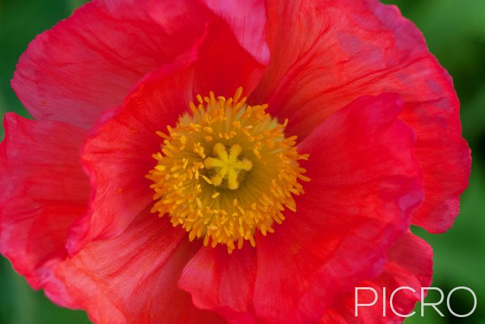 Red Poppy - Red petals contrast against the yellow stamen and stigma surrounded by green foliage bokeh that creates a vibrant floral photograph.
