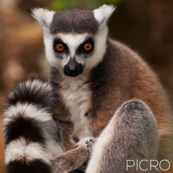 Ring-tailed Lemur - Ring-tailed Lemur