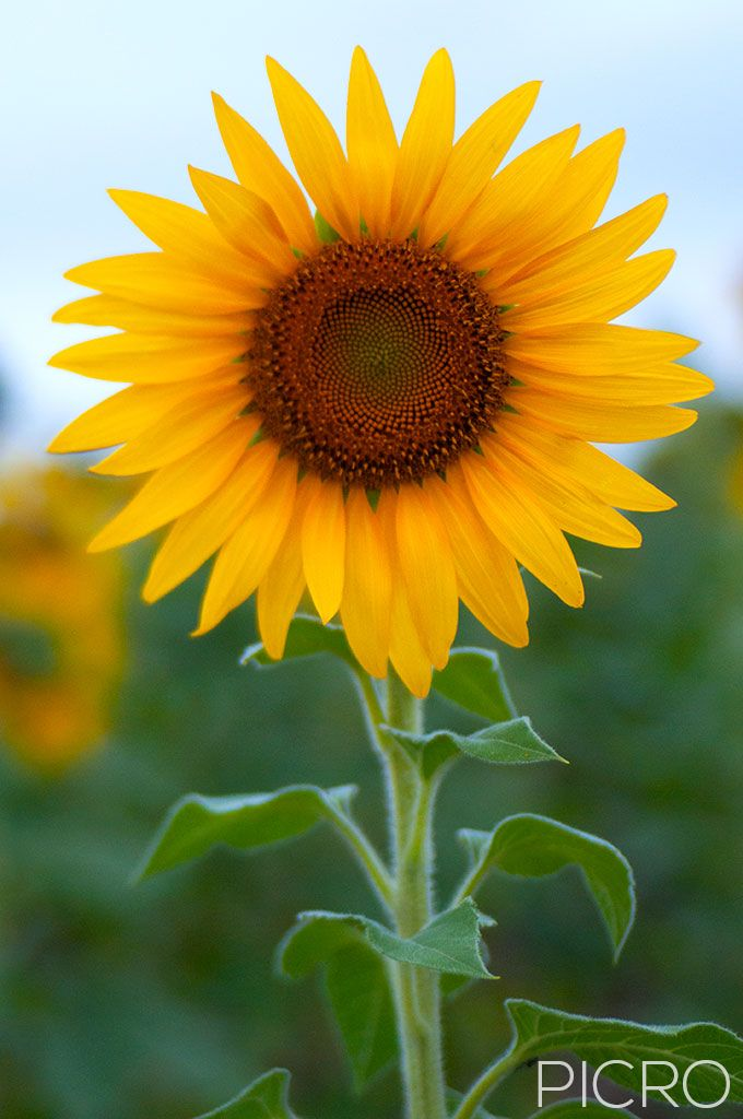 Sunflower (Helianthus) - Golden beauty of bright yellow florets of a sunflower in selective focus as it shines and stands tall in a field of sunflowers.