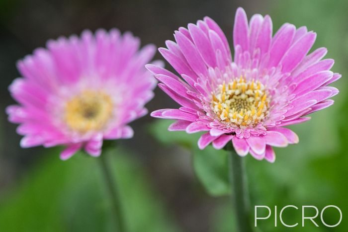 Sweet Surprise Pink Gerbera - Sweet Surprise Pink Gerbera