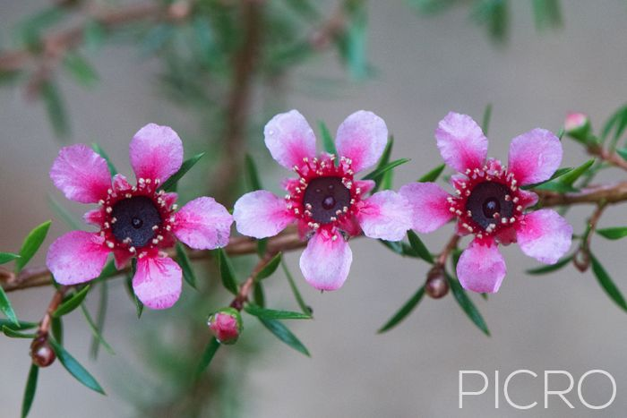 Three Tea Tree Blossoms - Three Tea Tree Blossoms