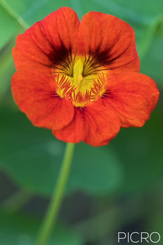 Tropaeolum majus - Brilliant orange frilled petals of the garden nasturtium flower stands solitary on its stem in a herb garden and looks good enough to eat.