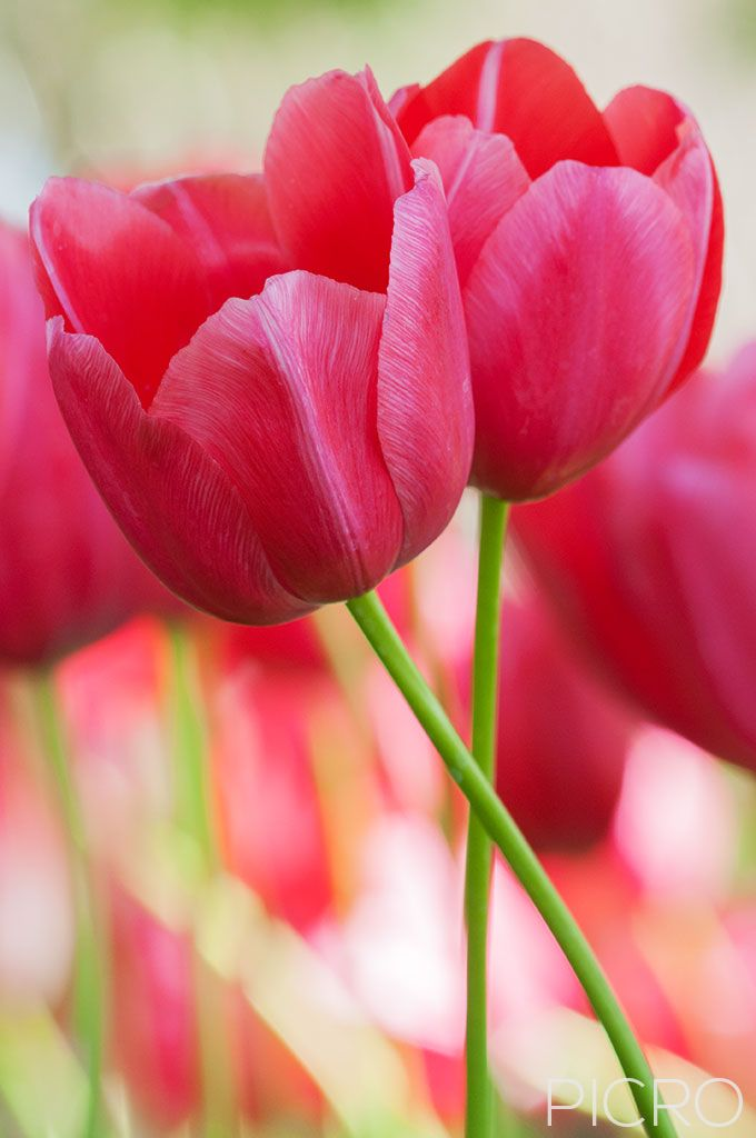 Two Pink Tulips - Two pink tulips in bloom as their stems are intertwined in this intimate close-up composition.