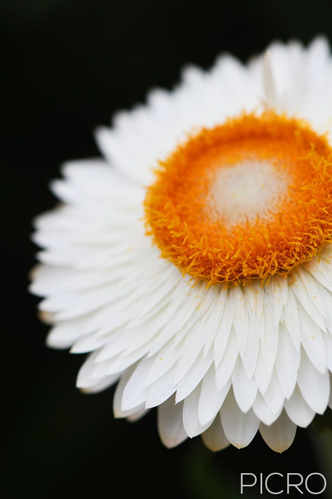 White Paper Daisy - A white paper daisy defined by highlights and shadows with a striking orange center composed vertically offers a simple and minimalist aesthetic.