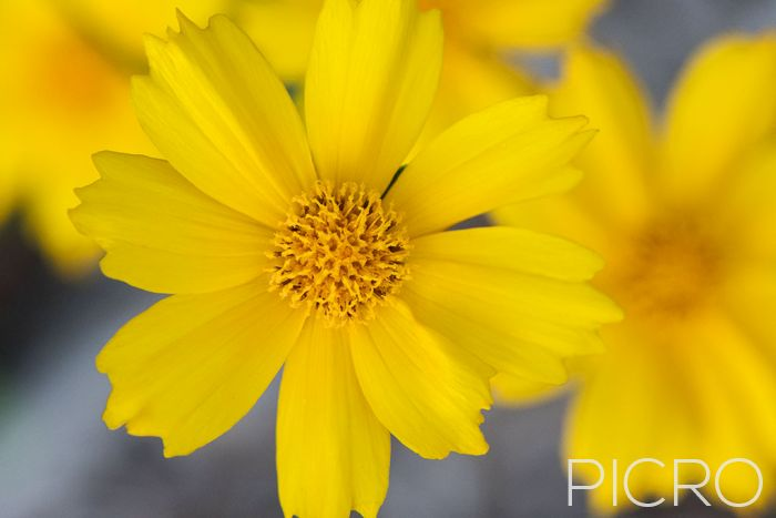 Yellow Coreopsis - Vibrant long-blooming and cheerful flowers of the garden, the tickseed showcase daisy-like petals with serrated tips that surround the yellow stamen.
