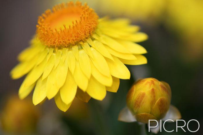 Yellow Paper Daisy & Bud - Yellow Paper Daisy & Bud