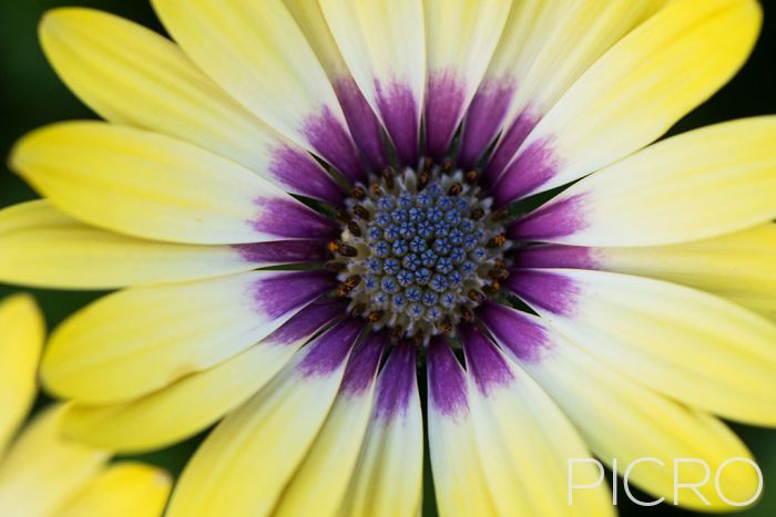 Yellow & Purple African Daisy - Yellow fades to cream and purple with ray florets that surround the blue disk florets of the beautiful Osteospermum in this close up photograph.