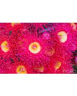 Summer glory is a stunning and vibrant pink flowering gum with nectar-rich blooms, featuring outstanding terminal flowers with stamens held in cup-like bases.