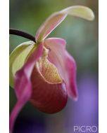 Beautiful profile of a lady's slipper orchid features a mottled maroon labellum pouch accompanied by pink dorsal sepal and petals in dreamy bokeh of green and purple.