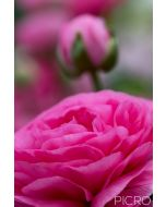 Pink lustrous petals of a Ranunculus blossom draw you into the beautiful bud awaiting its bloom in the bokeh from the shallow depth of field.