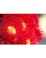 A bright and fiery red gum flower stands big and lovely from a group of flowers blurred in the background with selective focus from one of Australia's ornamental eucalypts.