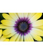 Yellow fades to cream and purple with ray florets that surround the blue disk florets of the beautiful Osteospermum in this close up photograph.