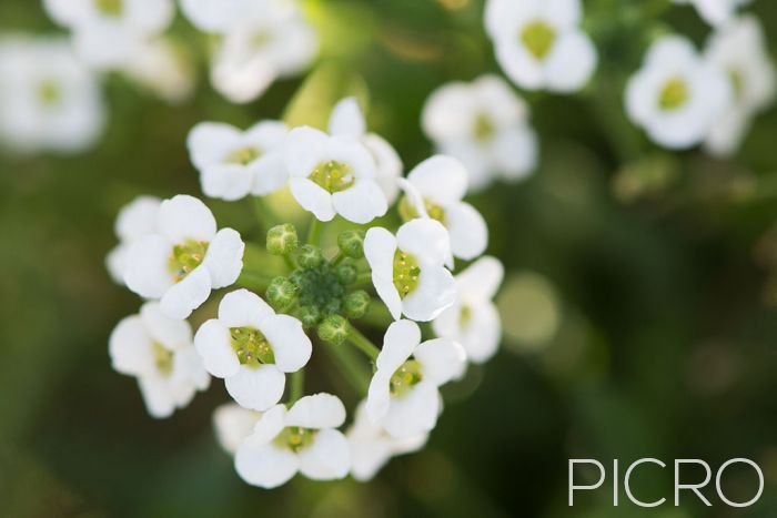 Alyssum - A close up shot of fragrant sweet alyssum that blooms prolifically with a dense cluster of flowers and buds at the focal point and a beautiful smooth blur of bokeh in the distance.