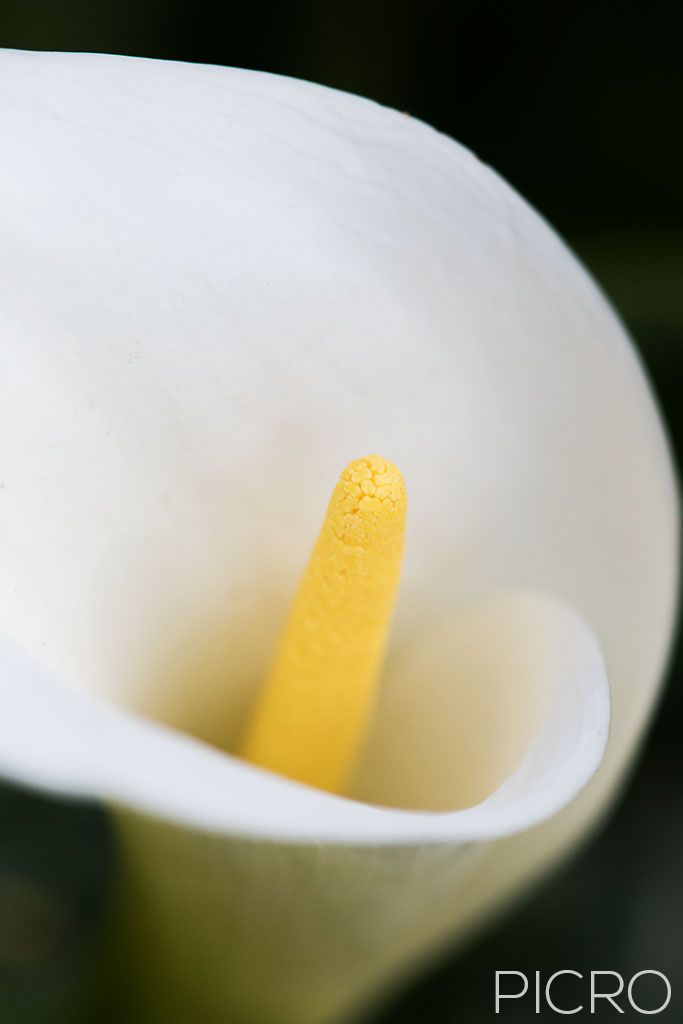 Arum Lily - A pure white spathe and yellow spadix that produces a faint, sweet fragrance.