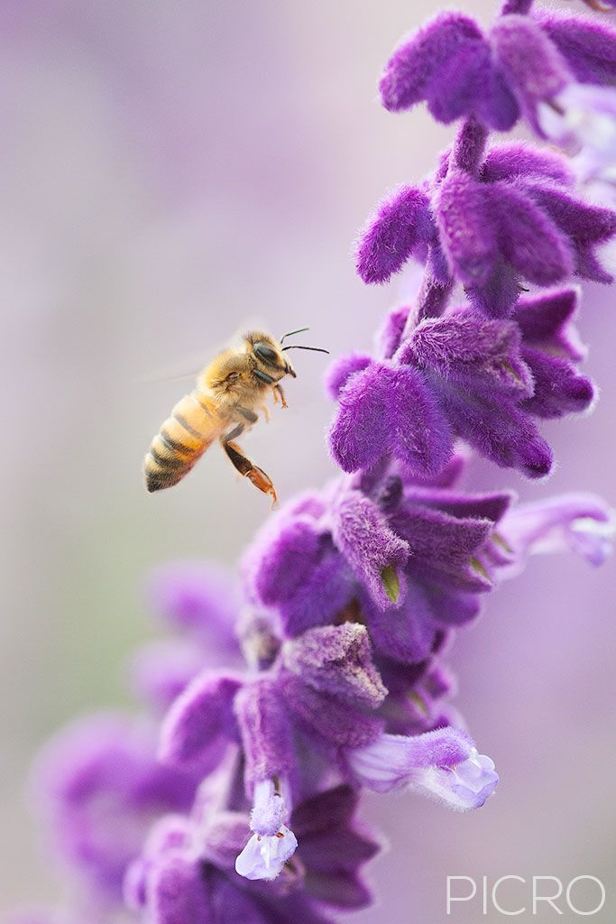 Bee on Salvia - A flying bee in search of pollen around the purple tubular salvia blooms is the focal point of this photograph, surrounded by smooth and dreamy mauve bokeh.