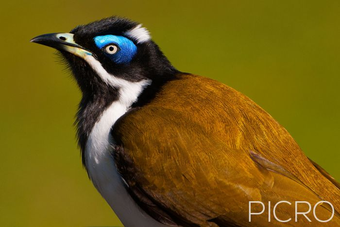 Blue-faced Honeyeater - Blue-faced Honeyeater