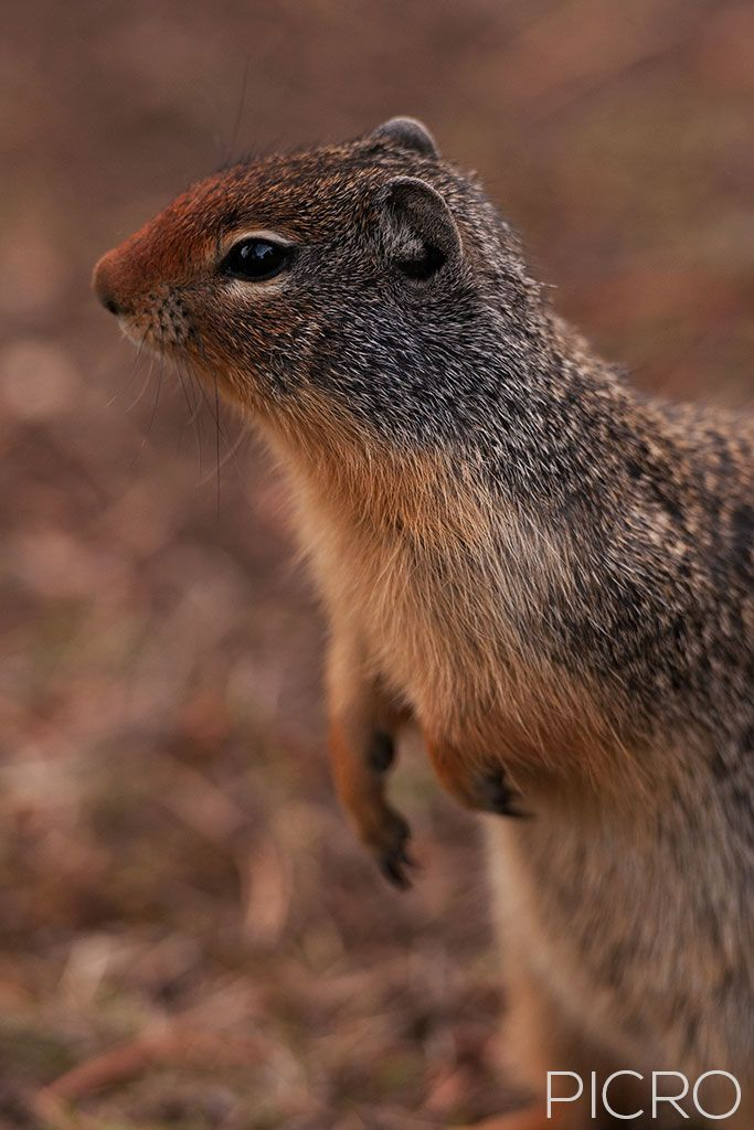 Columbian Ground Squirrel - Columbian Ground Squirrel