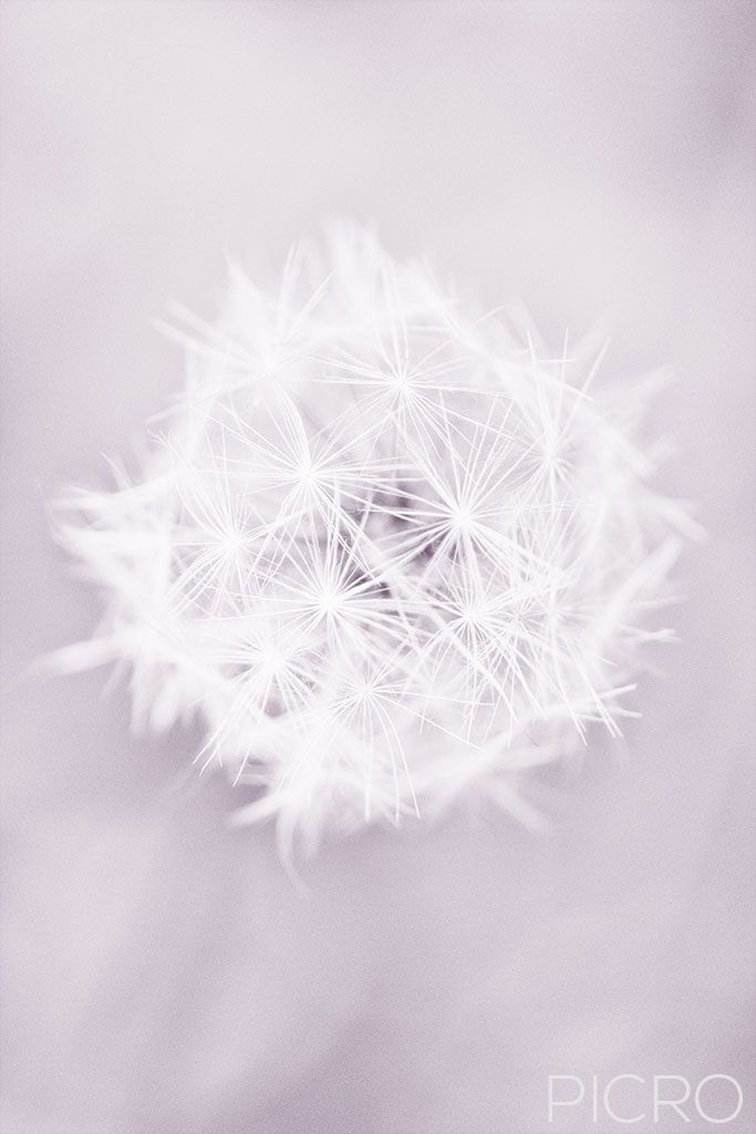 Dandelion Seedhead - A fluffy dandelion seed head sphere comprises of tiny white parachutes awaiting a gentle breeze to float into the sky and take dreams to flight.