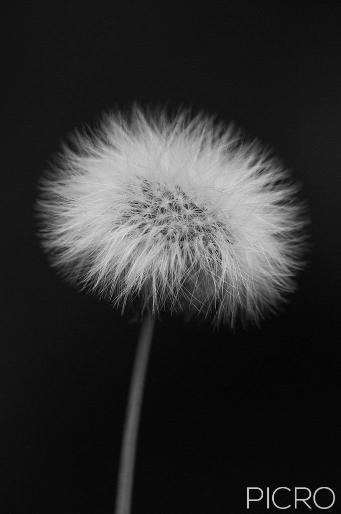 Hawksbeard Seed Head Monochrome - A mature flower head has gone to seed and formed a white, fluffy seed head that makes a contemporary floral art piece.