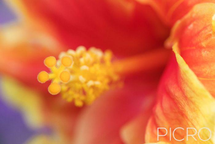 Hibiscus Stigma - Hibiscus Stigma