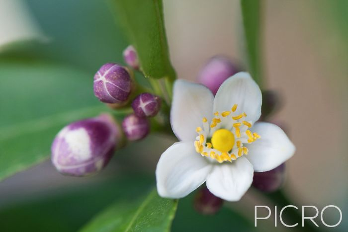 Lemon Tree Blossom - Purple and white buds surround dainty white petals around a yellow stamen and antlers that are dusted with yellow pollen, ready for bees to pollinate and produce fruit.