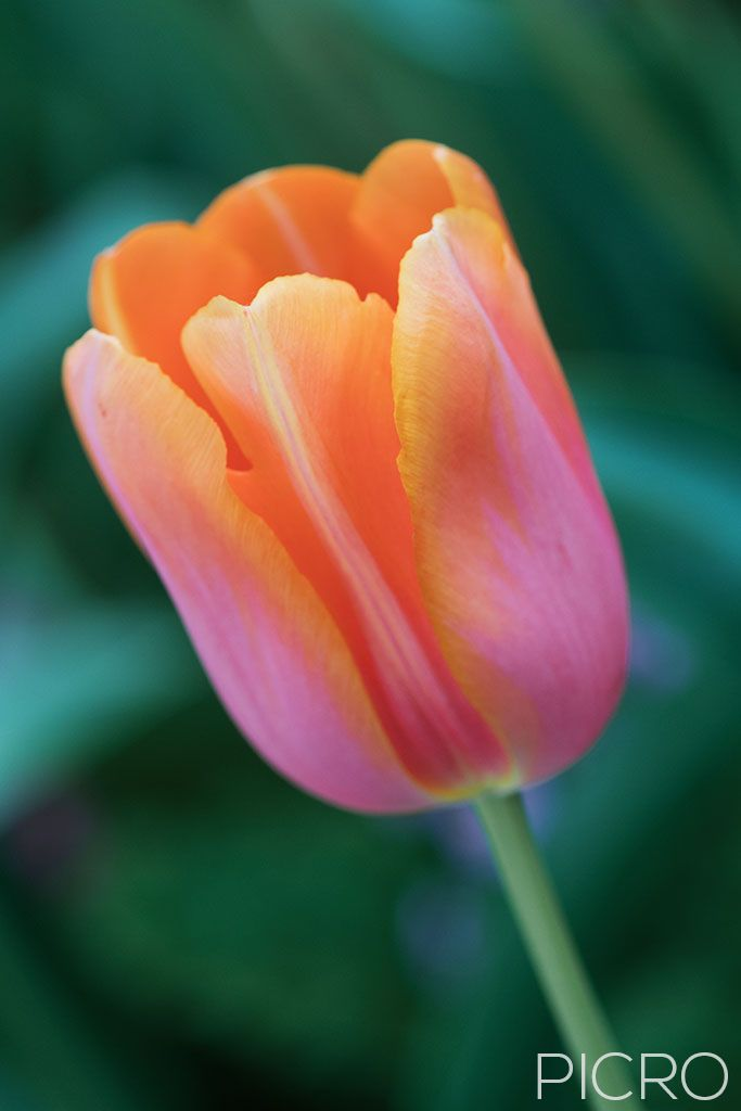 Peach Pink Tulip - A tulip sunset with delicate petals in shades of orange and pink with the green earth surrounding gentle tulipa flower.