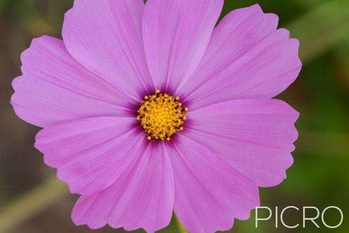 Pink Cosmos - A close up photograph of a cosmos flower with eight pink ray florets with wavy teeth on the tips and a dark base surrounding the yellow tubular flowers in the centre.