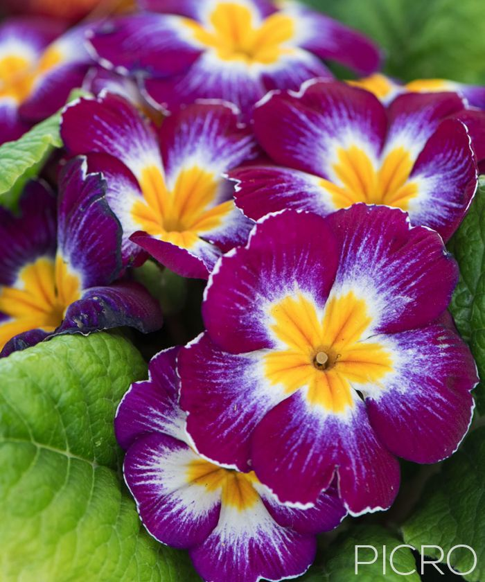 Purple Primrose - A sweet flowering garden plant, the primrose features beautiful rustic petals in shades of reddish purple, yellow and white with radial symmetry among the green leaves.