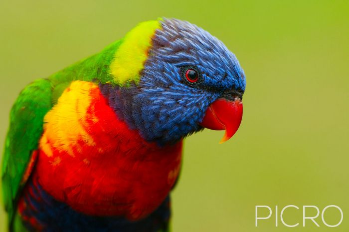 Rainbow Lorikeet - Rainbow Lorikeet