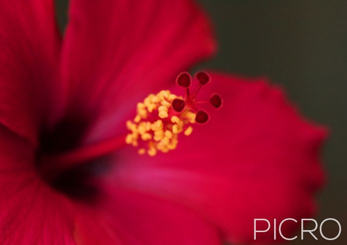 Red Hibiscus - Exquisite red petaled tropical flower showcases its beauty in this macro photograph as the sharpness of the yellow stamens and red pistils draw you into the luscious corolla.