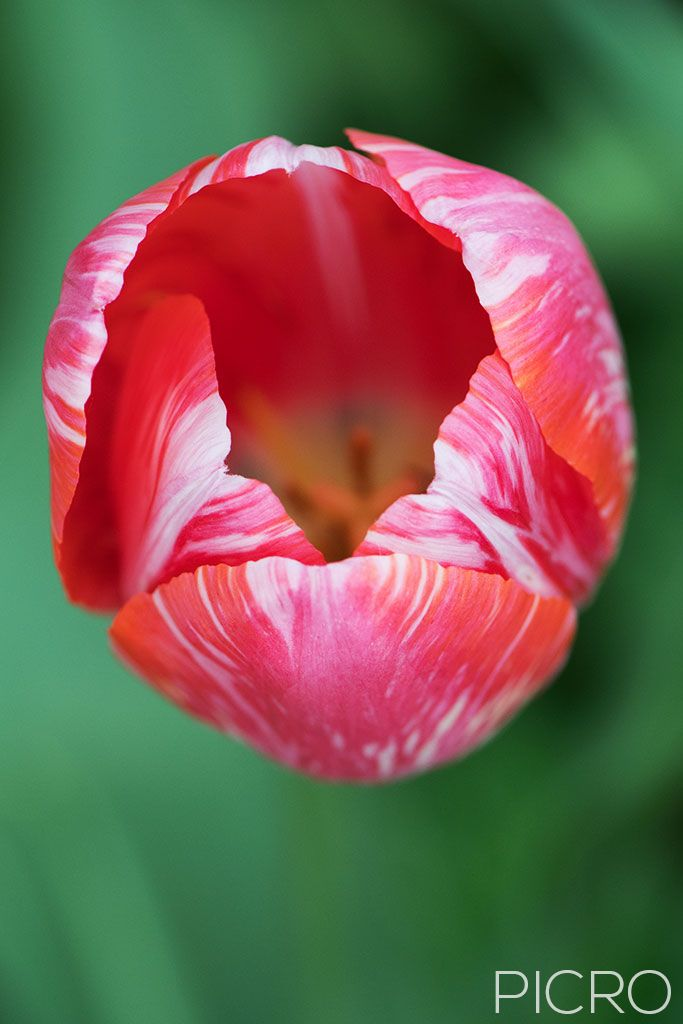 Red & White Tulip - Pretty petals of a tulip from above display the beauty of tulipa in all its glory.