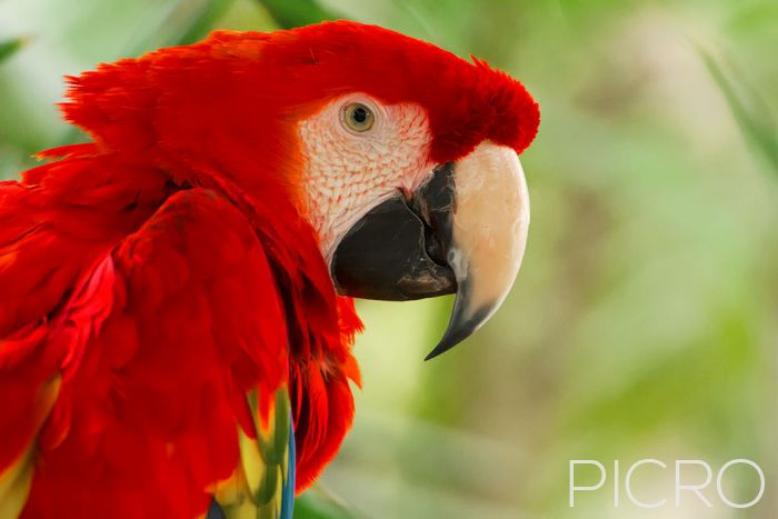 Scarlet Macaw (Ara Macao) - Scarlet Macaw (Ara Macao)