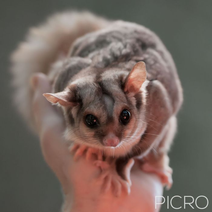 Squirrel Glider - Squirrel Glider